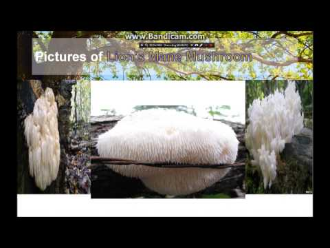 Lion's Mane Mushroom Powerful Effects to the central nervous system and Brain!