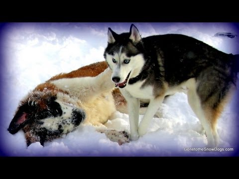 Siberian Husky and St. Bernard Play in Snow! Shiloh and Moonshine FLASHBACK