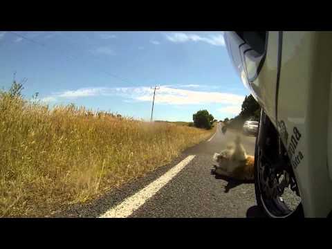 Koala blir påkörd av en motorcykel