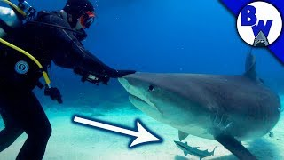 Hitching a Ride on a SHARK!? by Brave Wilderness