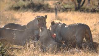 Lion Kill, Moremi National Park Botswana