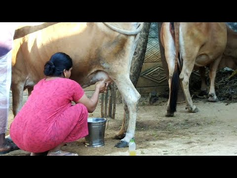 Cow Milking | Cow Milking by Hand Village | Cow milking by hand village life |  cow milking by hand