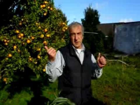 Mini avocado tree with two large fruit.AVI.flv