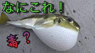 深海から謎のフグが釣れたので、さばいて食べてみたら・・・・
