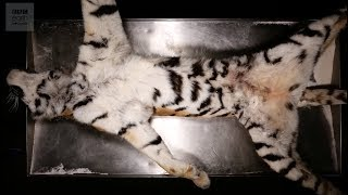 Dissecting An Amur Tiger - BBC Earth