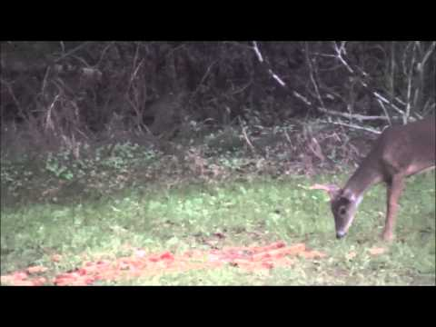 Edgefield County Deer Hunt - 10 pt (видео)