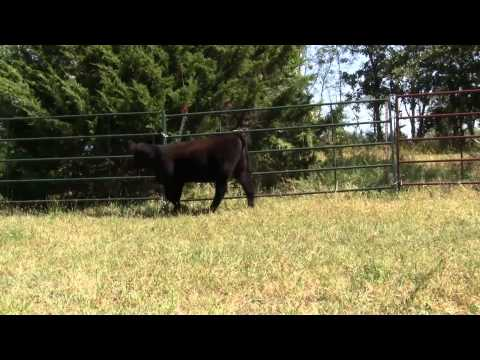 592 MAB Heifer 9 19 15 (видео)