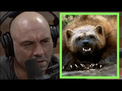 Joe Rogan - Wolverines are FEROCIOUS!!