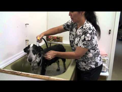 Anteprima Video Ecco come lavare un Cane