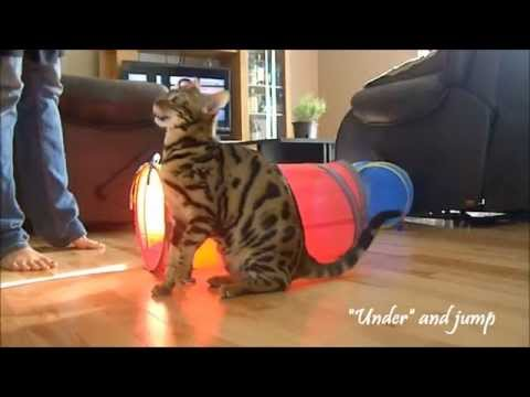 Bengalen - Moogly 10 month old Bengal cat showing his tricks.