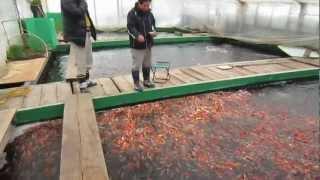 Niigata Japan  city photo : Niigata Japan Koi Fish Farm Tour - Breeder: Otsuka Koi Farm