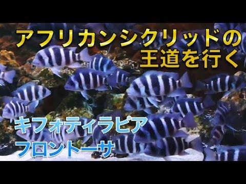 【熱帯魚・アフリカンシクリッド】キフォティラピア・フロントーサ (Aqupedia)