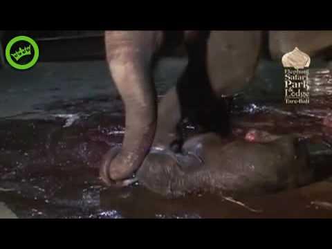 Mamãe elefante dando a luz, filhote com 118 kls. e 98 cms.
