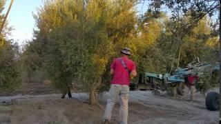 כיוון זרוע המנערת לגזע עץ הזית לקראת ניעורו