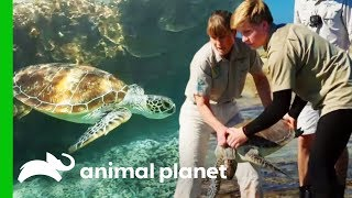 Releasing Sea Turtles On The Great Barrier Reef | Crikey! It's The Irwins by Animal Planet
