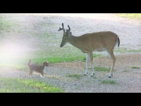 Dog plays with deer