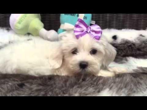 Adorable & Fluffy, White Baby Girl Havanese!