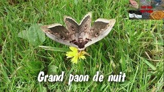 Nonton Papillon Grand Paon De Nuit Butterfly Big Night Peacock Film Subtitle Indonesia Streaming Movie Download