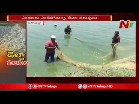 Aqua Farmers Incur Heavy Losses due to Summer Heat in West Godavari   NTV