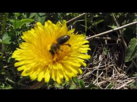 mudsongs.org: Honey Bees and Dandelions (HD)