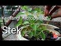 Cara Stek Kemangi Hidroponik Di Botol Bekas || Hidroponics Basil
