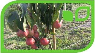 The mini apple tree Maloni Billy