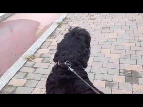 un cane ulula quando sente un'autoambulanza!