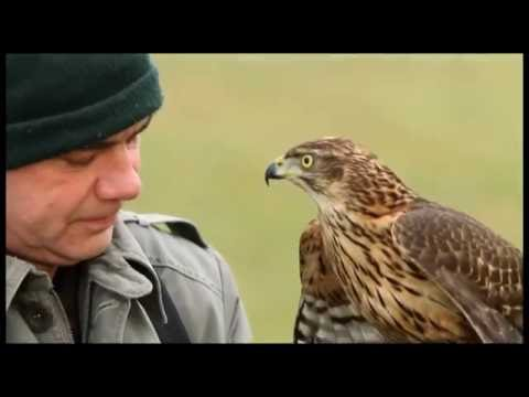 Hunting With Falcon & goshawk Video...