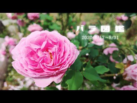 【今朝のバラシリーズ】🌹バラ図鑑2020🌹2020/8/17〜8/31【おはツイ】