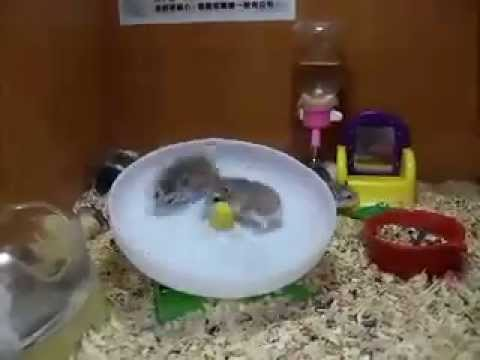 Gerbils Running on a Wheel.