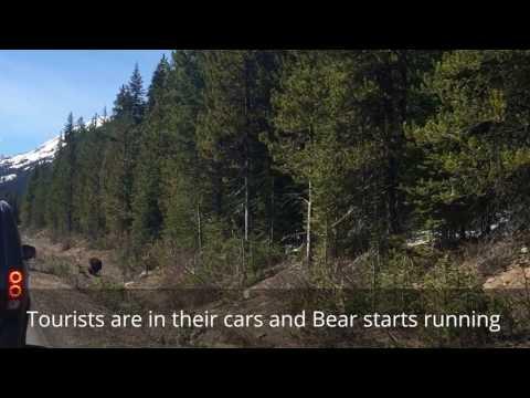 Grizzly Bear Encounter Jasper Park Canada | Banff Bear Attack