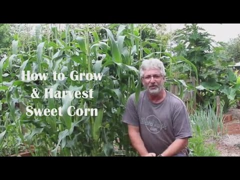 How to Plant and Grow Corn