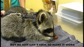 Raccoon Eating a Grape - Exotic Pet Vet Unedited and Uncut