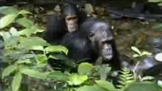 Complex mating rituals of chimpanzees in the jungle  - BBC wildlife