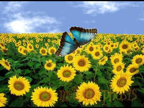 Schmetterling Lebenszyklus (Metamorphose) Lied