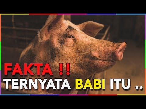 TAHUKAH KAMU KALO BABI ITU TIDAK BERKERINGAT BUKAN TIDAK HARAM!!!