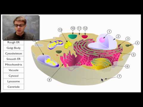 Cell - Paul Andersen takes you on a tour of the cell. He starts by explaining the difference between prokaryotic and eukaryotic cells. He also explains why cells ar...