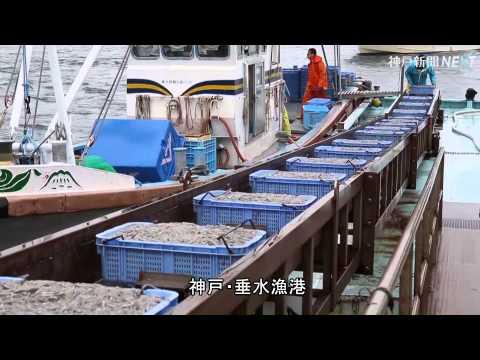 イカナゴシンコ漁解禁