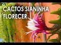 Download Lagu CACTOS SIANINHA CULTIVANDO EM CASA COMO CUIDAR, Plantar em Casa Mp3 Free
