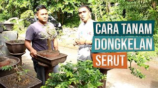 Video How to Planting Collected Sand Paper Tree (Streblus asper) for Bonsai (Bahasa Indonesia) MP3, 3GP, MP4, WEBM, AVI, FLV September 2018