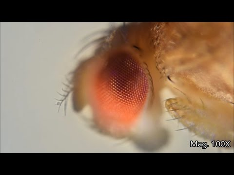 Fruit fly and its life-cycle under the microscope