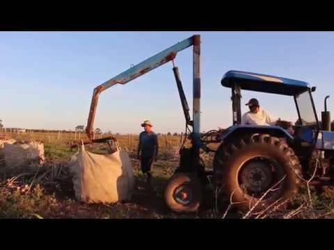 Tem início a colheita de mandioca em Jaguaruna