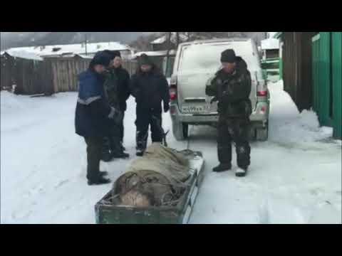 В Бурятии люди всем селом спасли сохатого из ледяного плена