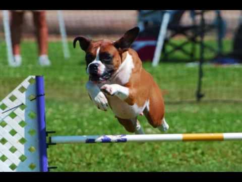agility boxer!