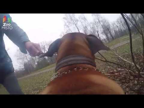 ГоПро и Боксер - Мир глазами собаки