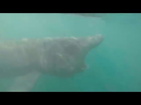 Kayaker Swims Right Up To Giant Basking Shark