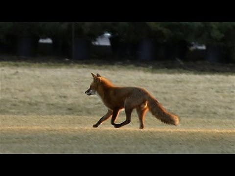 white - There's a red fox living on the grounds of the White House. The elusive critter has called the presidential residence home since last fall, and no one's been...