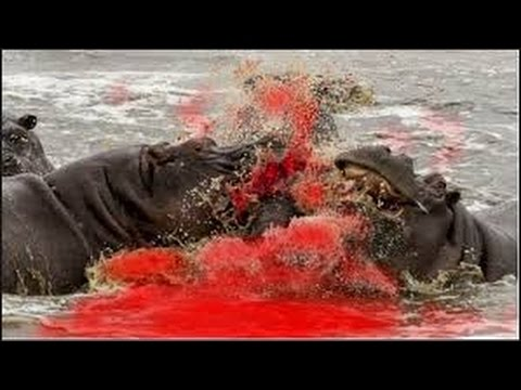 Hippo Attack And Kills Lion  Lion Severely Injured On Hippo Attack