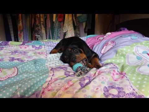 Roxy Rottweiler Puppy