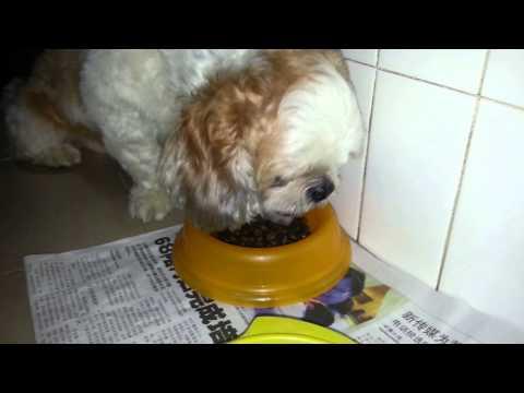 Shih Tzu TOTO The Cute Dog Having His Dinner